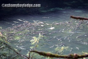 Prince William Sound Salmon Run