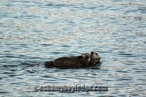 Sea Otters in Alaska